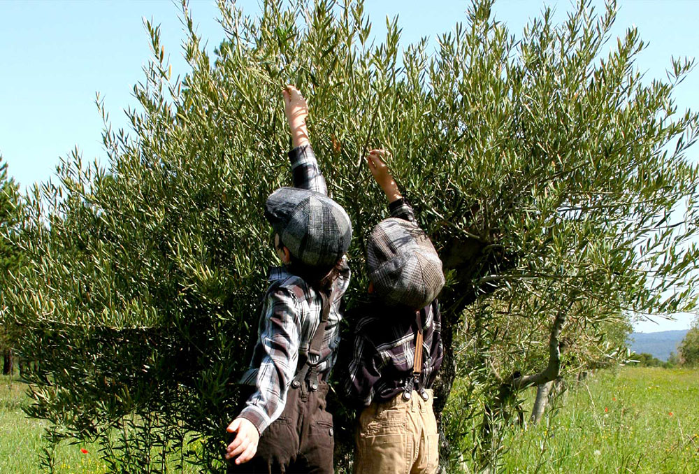 Domaine Leos enfants Patrick Bruel cueillant olives
